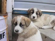 Продам щенков метисов Алабай с Кавказской овчаркой!